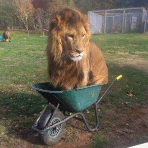 Lion in wheelbarrow